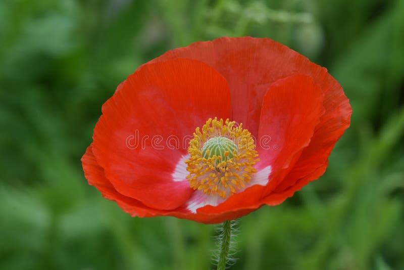 Pace rossa sangue Poppy Flower delle Fiandre immagine stock
