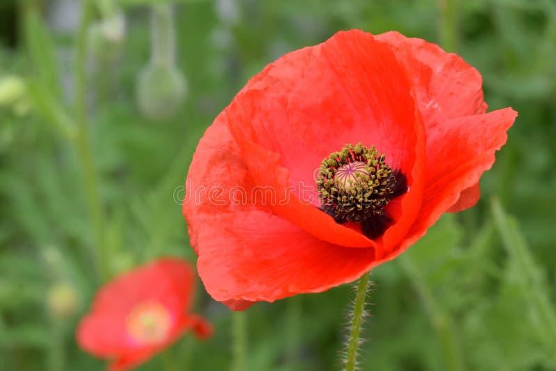 Pace rossa sangue Poppy Flower 01 delle Fiandre immagini stock