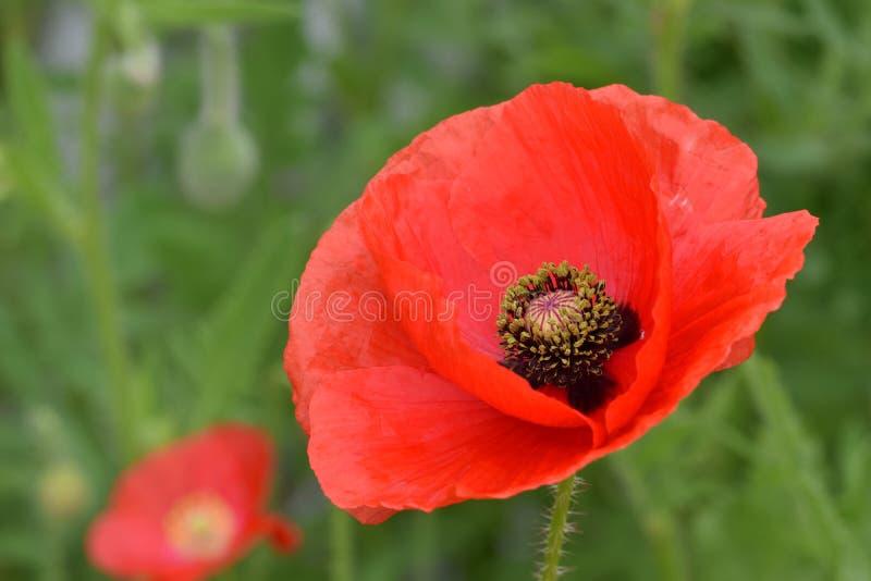 Pace rossa sangue Poppy Flower 02 delle Fiandre fotografia stock libera da diritti