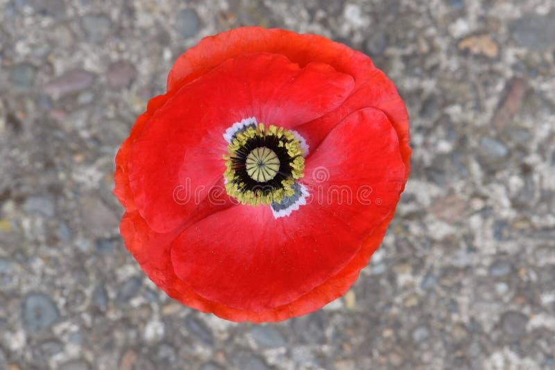 Pace rossa sangue Poppy Mandala delle Fiandre immagine stock
