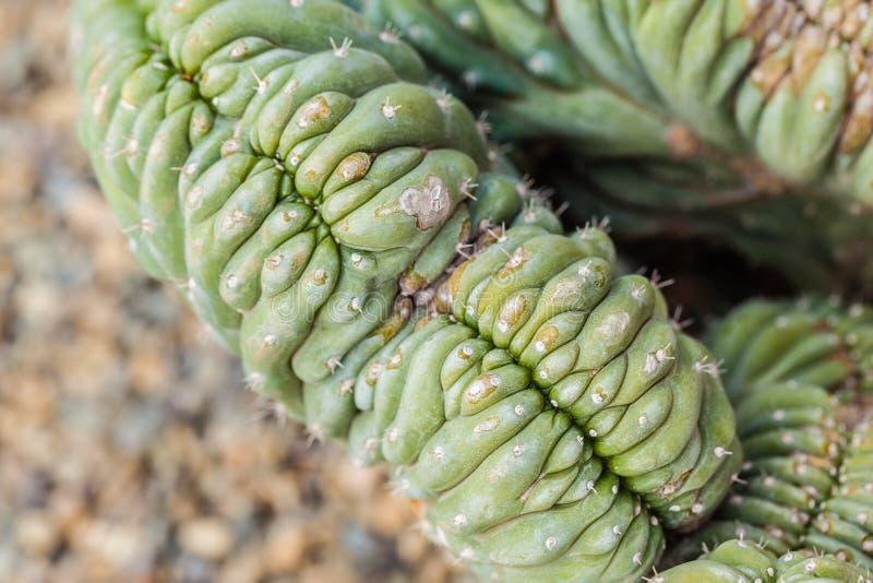 Pachanoi de Trichocereus images libres de droits