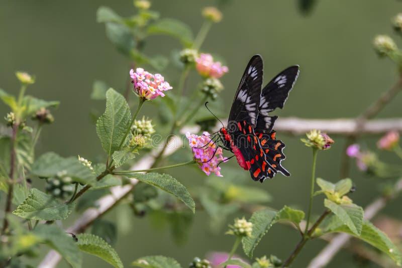 Pachliopta虚张声势的人,绯红色玫瑰色蝴蝶 免版税图库摄影