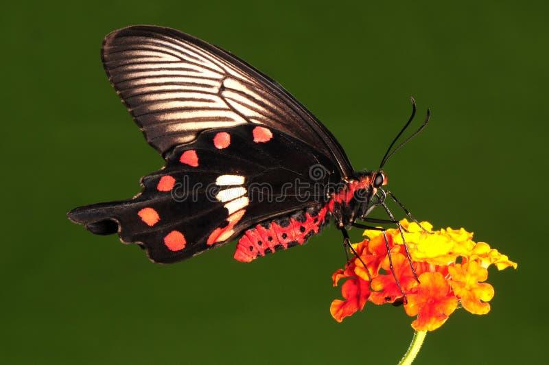 Pachliopta Aristolochiae , Butterfly On Flower Stock Photos