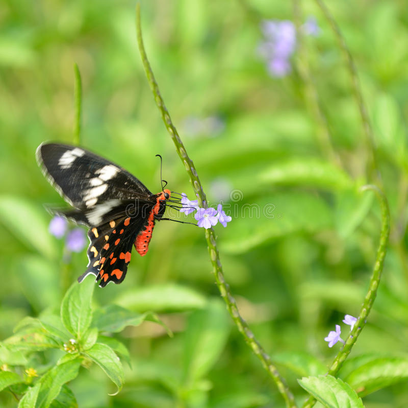 Pachliopta hector butterfly royalty free stock photos