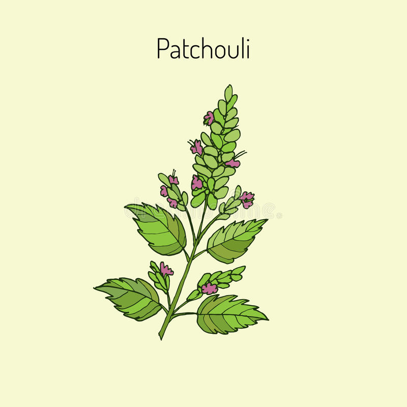 Pachouli - aromatic and medicinal plant. Patchouli (Pogostemon cablin), also patchouly or pachouli - aromatic and medicinal plant, illustration stock illustration