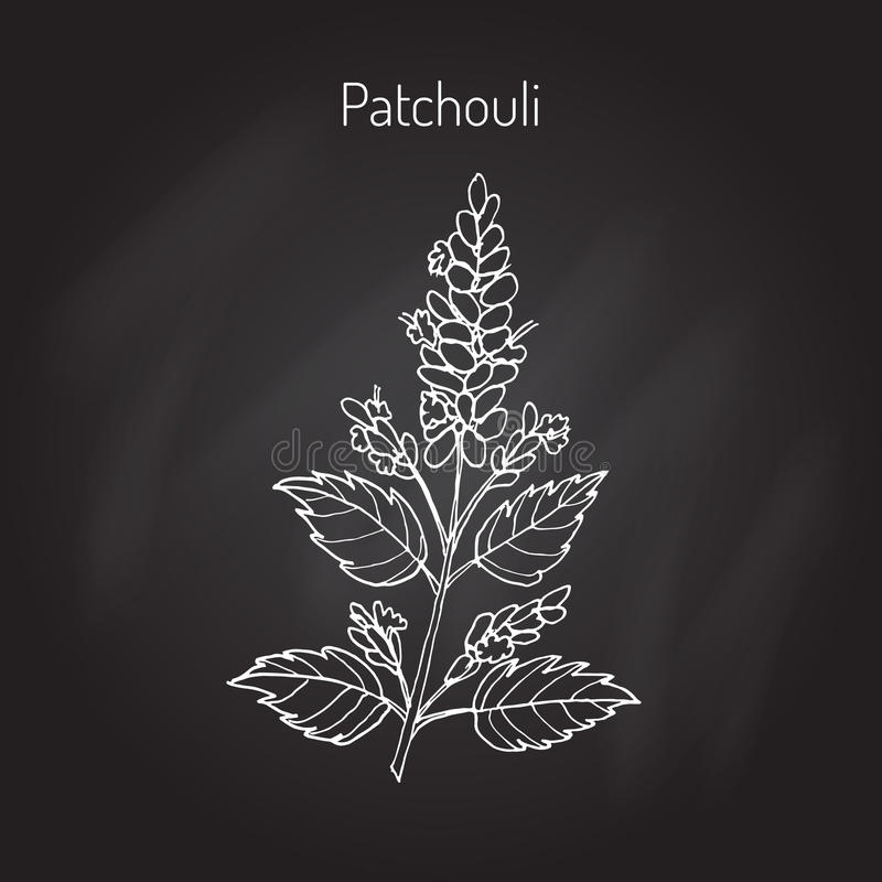 Pachouli - aromatic and medicinal plant. Patchouli (Pogostemon cablin), also patchouly or pachouli - aromatic and medicinal plant, illustration vector illustration