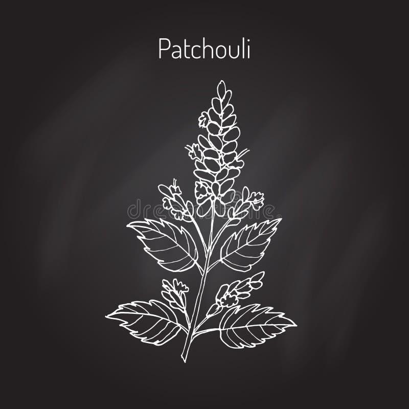 Pachouli - aromatisch und Heilpflanze vektor abbildung