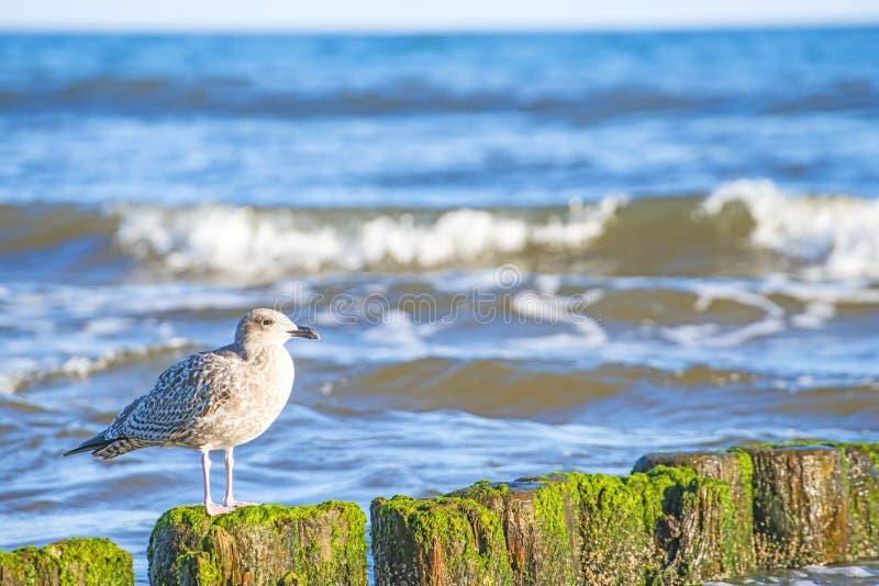Pachwina w morzu bałtyckim zdjęcia royalty free