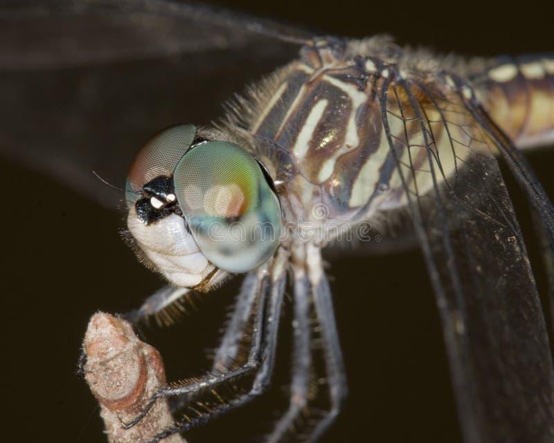 pachydiplax longipennis голубого dasher женское стоковые изображения rf