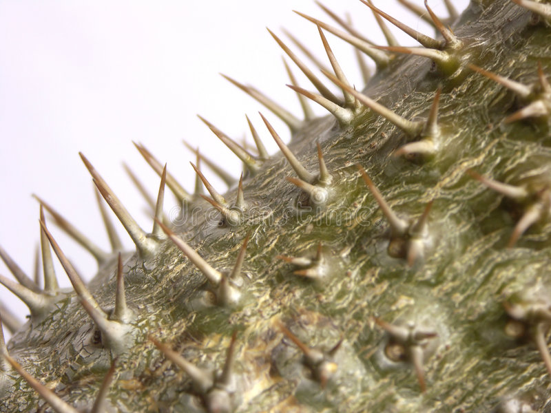 Pachypodium plant. Macro of Pachypodium plant from Madagascar stock photo
