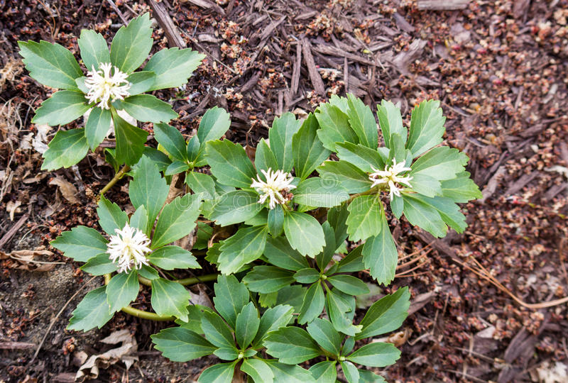 Pachysandra зацветая весной стоковое фото rf