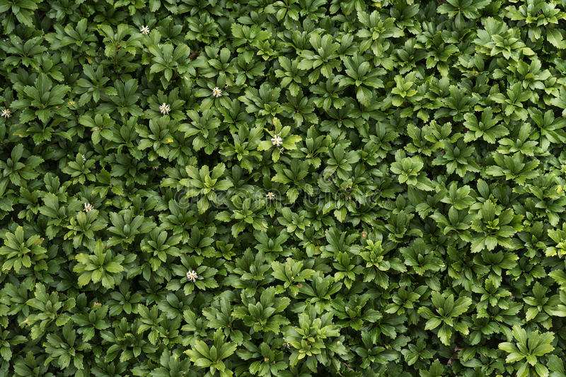 Pachysandra evergreen ground cover with small white flowers as pachysandra evergreen groundcover with small white flowers in spring as a background texture mightylinksfo