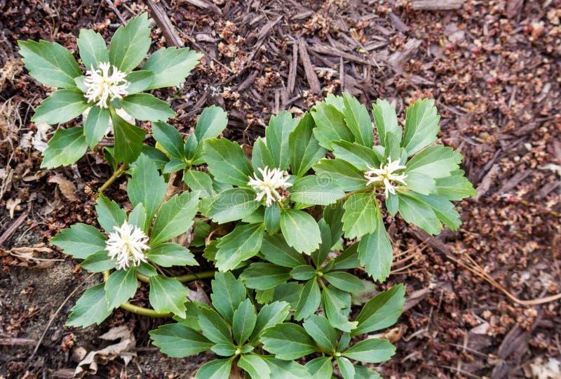 Pachysandra kwitnienie w wiośnie zdjęcie royalty free