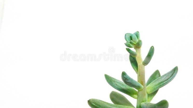 Pachyveria suculento del verde de la planta en el primer blanco del fondo imagen de archivo