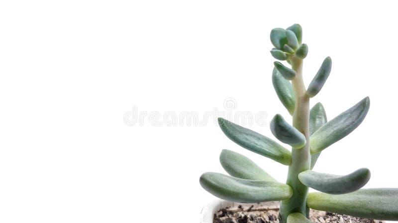 Pachyveria suculento del verde de la planta en el primer blanco del fondo imagenes de archivo