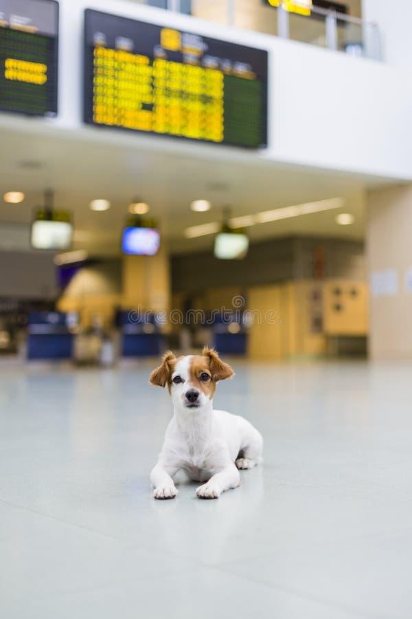 paciente que espera del pequeño perro lindo en el aeropuerto Animal doméstico en cabina El viajar con concepto de los perros fotos de archivo libres de regalías