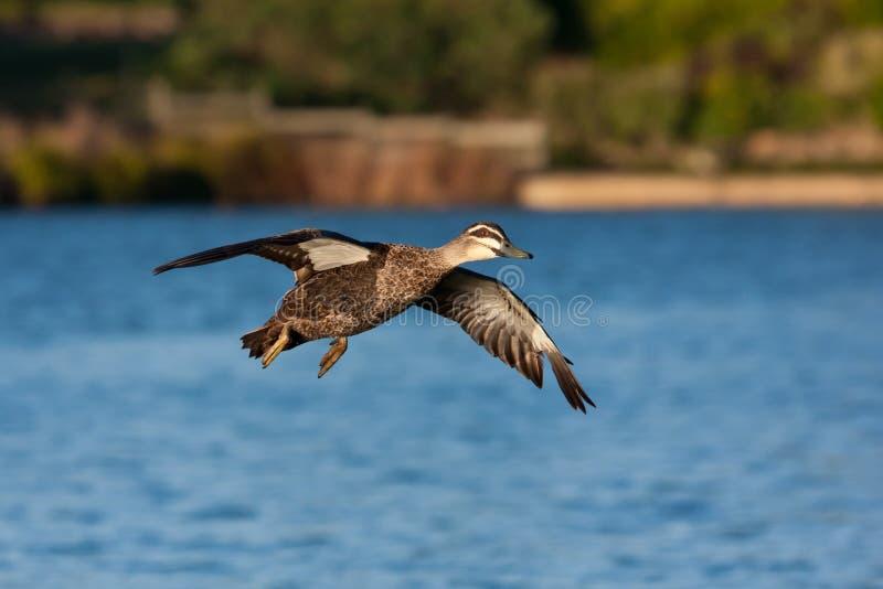 Download Pacific Black Duck stock image. Image of landing, waterbird - 19623941