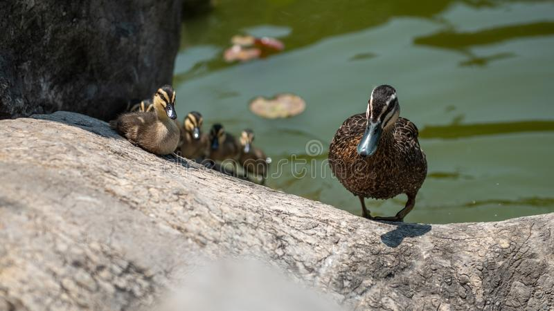 Pacific Black Duck Anas superciliosa family royalty free stock photo