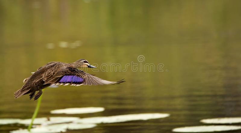 Pacific black duck royalty free stock photo