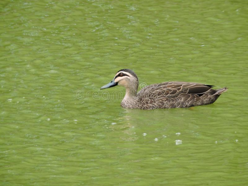 Pacific black duck swimming in green lake water stock image