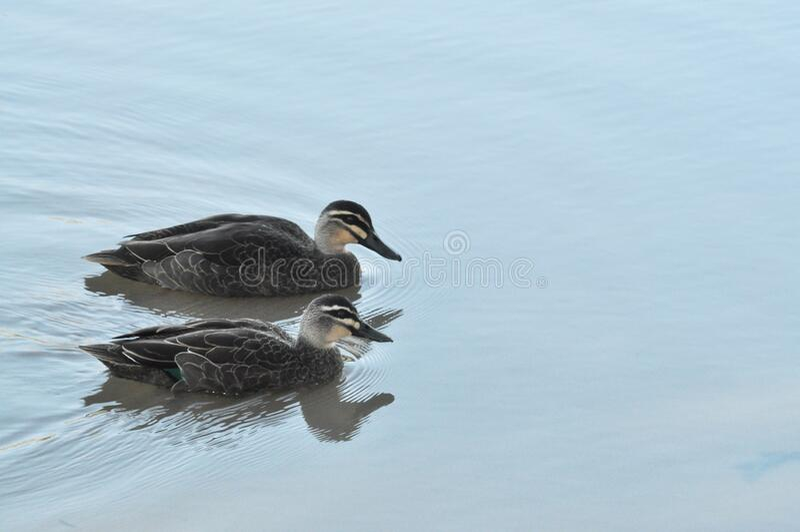 Pacific Black Mallard Ducks Swimming on the water stock images