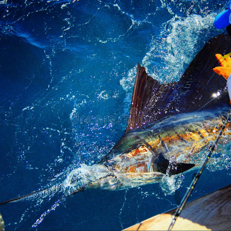 Pacific Blue Marlin tagged stock image