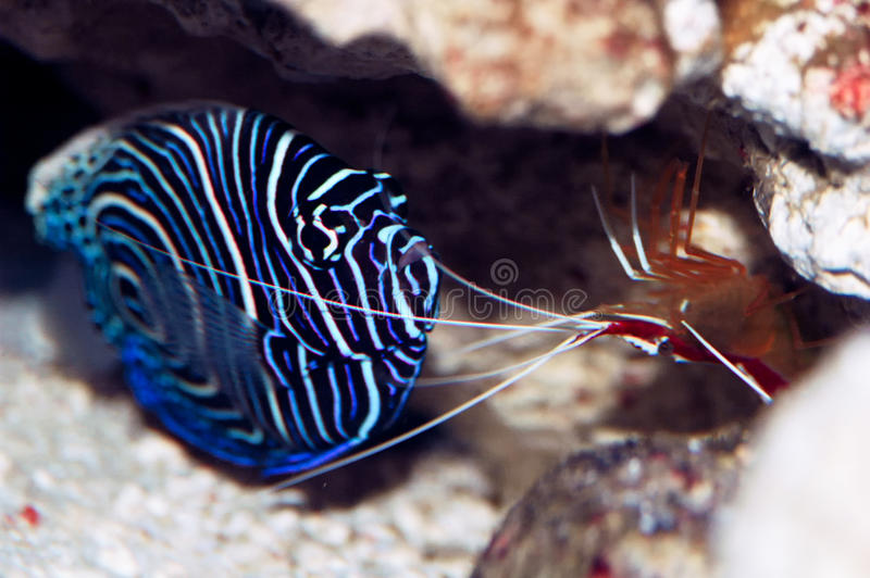 Pacific cleaner shrimp (Lysmata amboinensis) and young emperor a royalty free stock photo