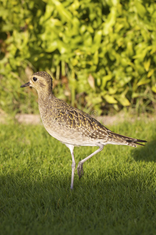 Download Pacific Golden Plover stock image. Image of brown, bird - 22950223