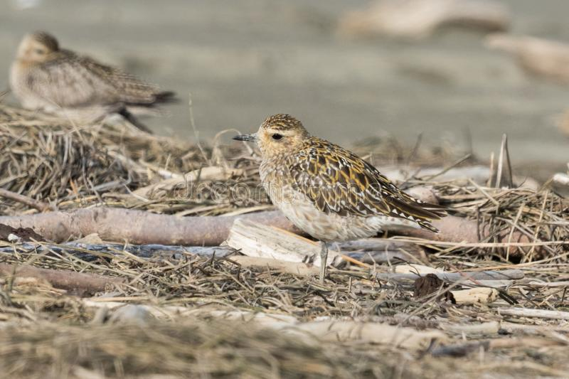 Pacific Golden Plover in Australasia stock photography