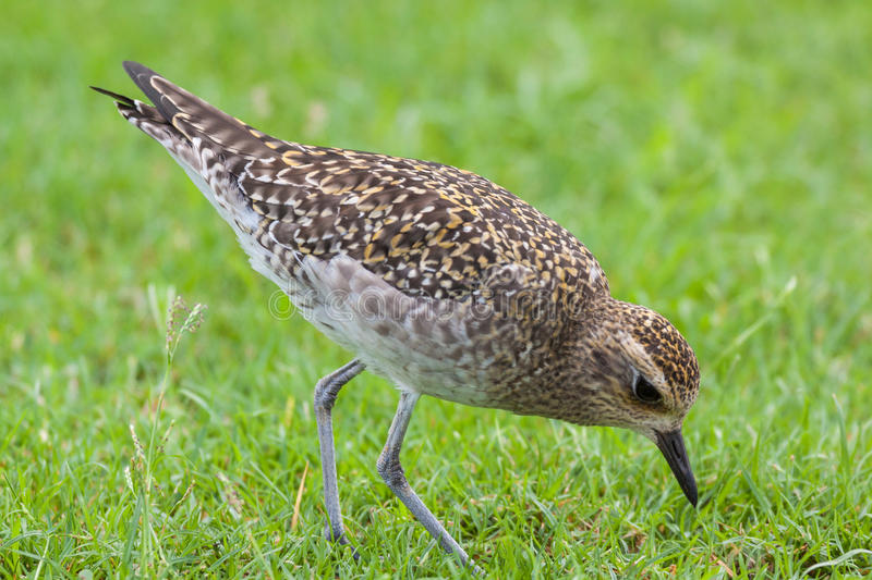 Pacific Golden Plover Feeding stock images