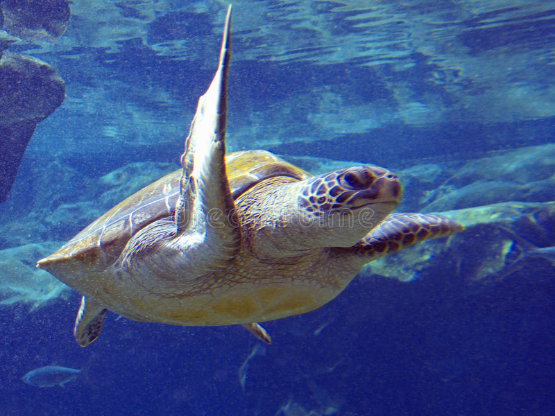 Pacific Green Sea Turtle. The Pacific Green Sea Turtle is listed as an Endangered Species royalty free stock images