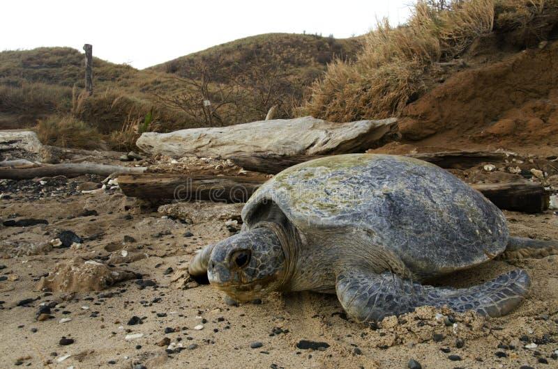 Pacific Green sea turtle in deserted beach