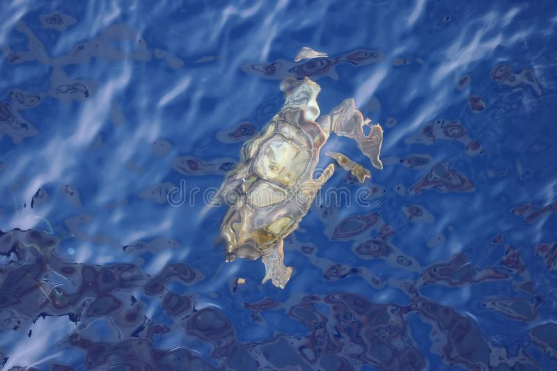 Pacific Green Turtle Chelonia mydas swimming underwater. Giant green sea turtle in natural habitat in North Pacific ocean. stock image