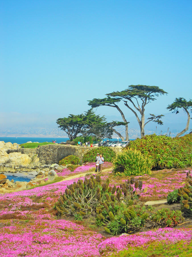 Pacific Grove, California, United States of America, Usa. Ice plants blooming on the beach of Pacific Grove on June 16, 2010. Pacific Grove is a coastal city in stock photography