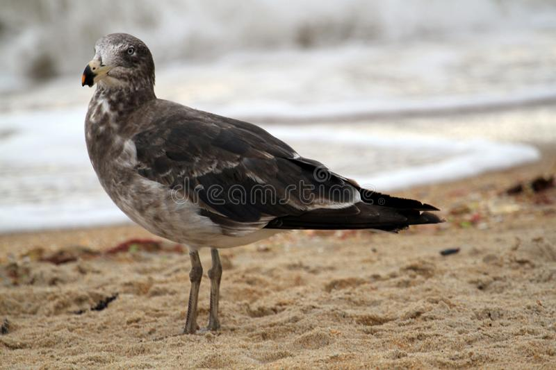 Pacific Gull (Larus Pacificus). An immature Pacific Gull at Mordialloc Beach, Melbourne, Australia royalty free stock photography
