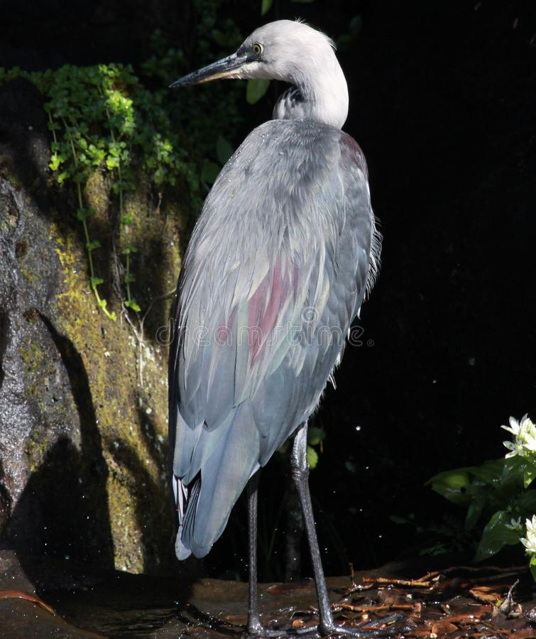 White Necked Heron in Australia royalty free stock photos