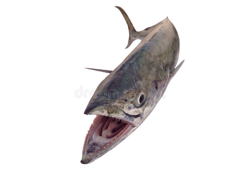 Mackerel fish. Pacific king mackerel fish isolated on white stock photography