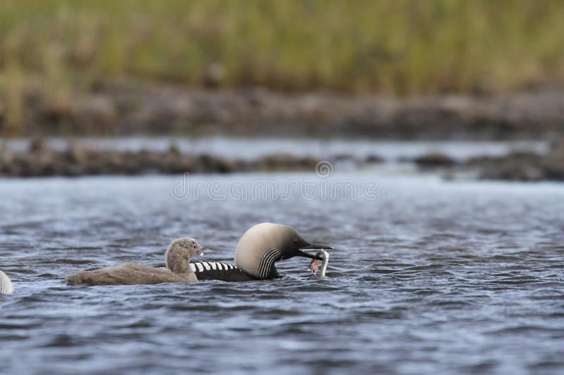 Pacific Loon or Pacific Diver fishing with a young chick in arctic waters royalty free stock photos