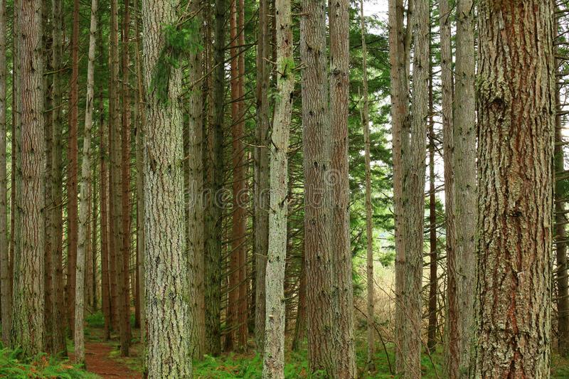 Pacific Northwest forest and conifers. A picture of an Pacific Northwest Washington state forest with conifers stock image