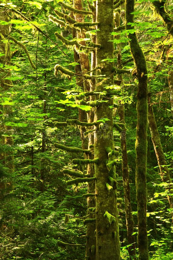 Pacific Northwest forest and Red Alder trees. A exterior picture of an Pacific Northwest Washington state forest with Red alder trees royalty free stock images