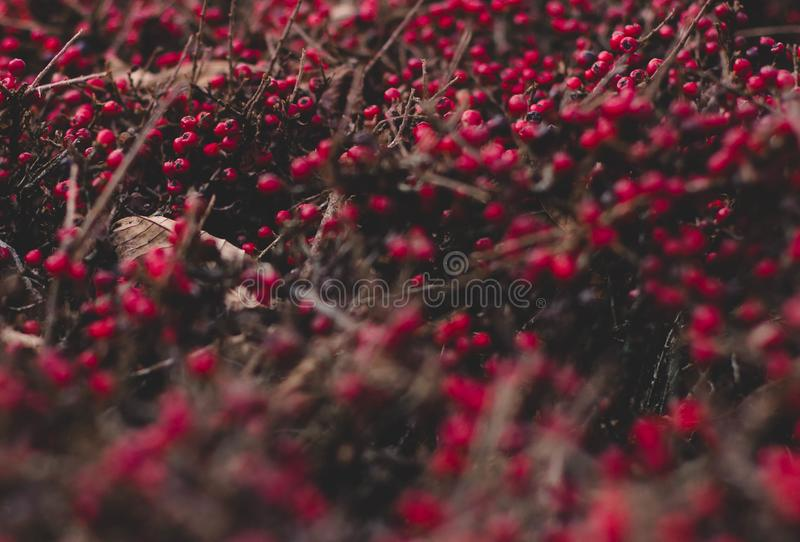 Pacific NW Winter Foliage. Hiking in the Pacific NW, found these beautiful red berries just in time for Christmas stock photos