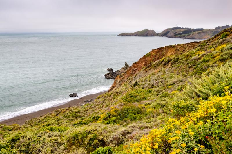 The Pacific Ocean coastline in Marin Headlands on a foggy day; Golden Yarrow Eriophyllum confertiflorum wildflowers blooming on. The bluffs; Marin County, North royalty free stock image