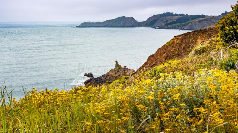 The Pacific Ocean coastline in Marin Headlands on a foggy day; Golden Yarrow Eriophyllum confertiflorum wildflowers blooming on. The bluffs; Marin County, North royalty free stock photos