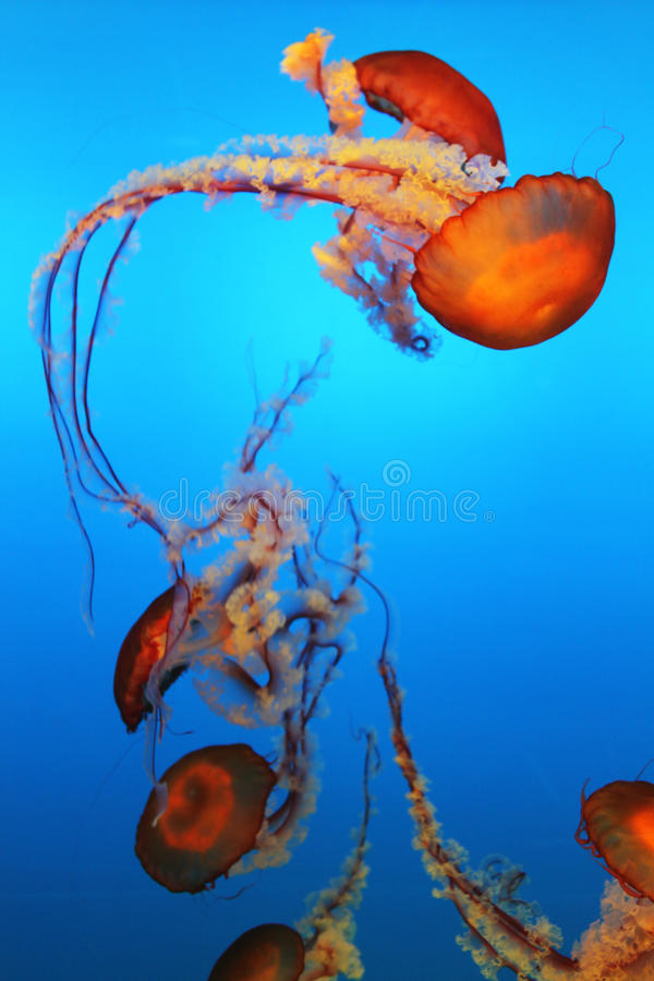 Pacific Ocean Jellyfish royalty free stock photo
