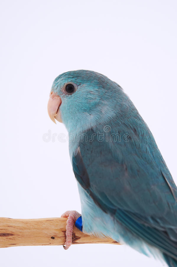 Pacific Parrot. Bird stand on the branch with white background stock photos