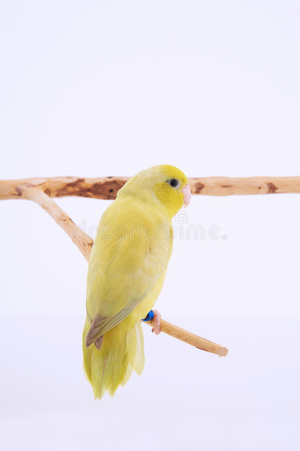 Pacific Parrot. Bird stand on the branch with white background royalty free stock photos