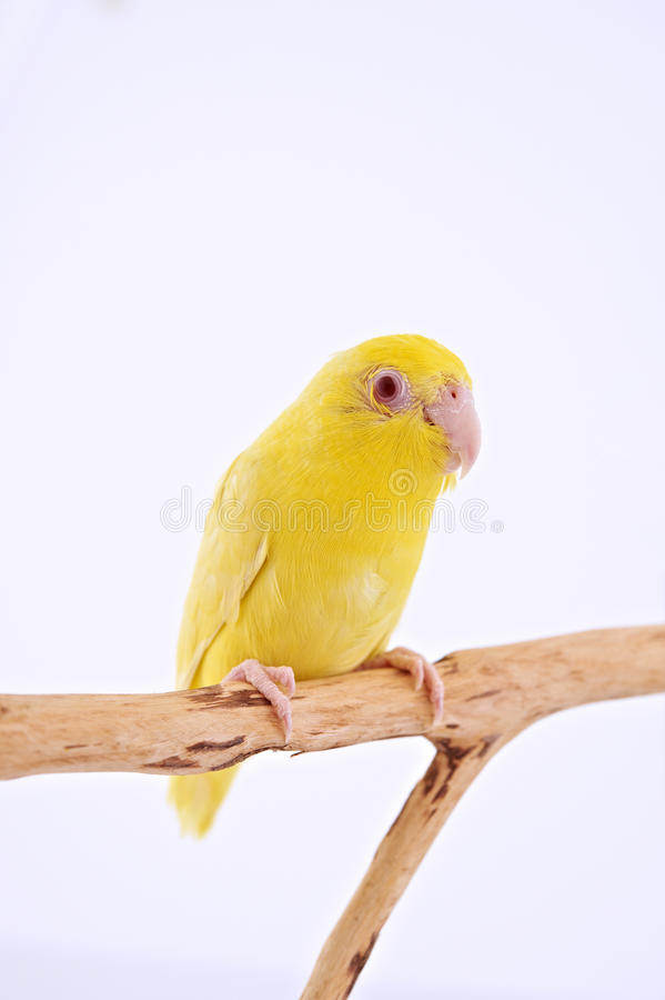 Pacific Parrot. Bird stand on the branch with white background royalty free stock photography