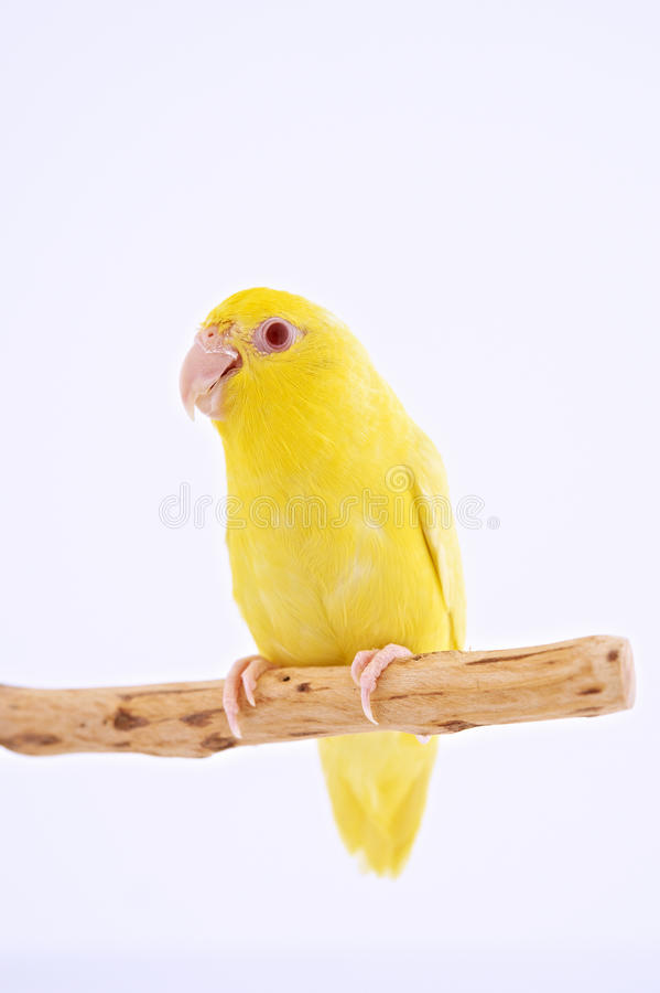 Pacific Parrot. Bird stand on the branch with white background royalty free stock images
