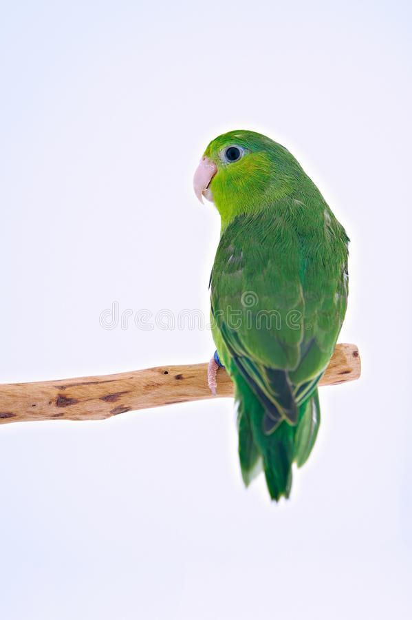 Pacific Parrot. Bird stand on the branch with white background royalty free stock photo