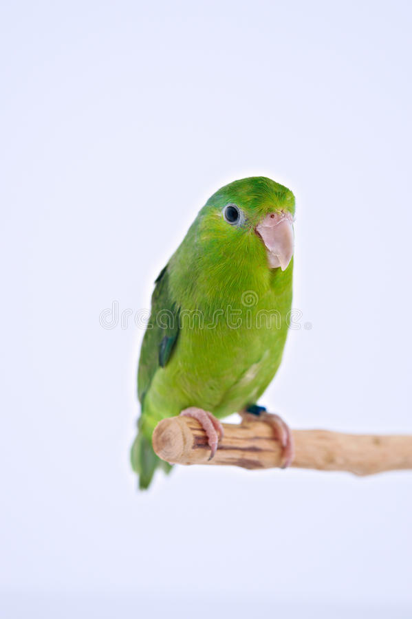 Pacific Parrot. Bird stand on the branch with white background stock photography